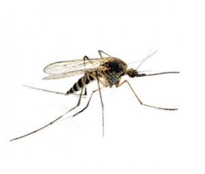 Mosquitoes on the Costa Blanca